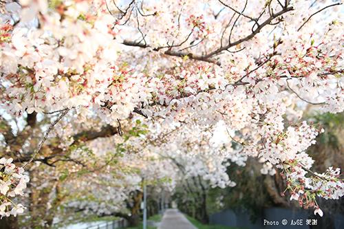 鴨川の桜並木