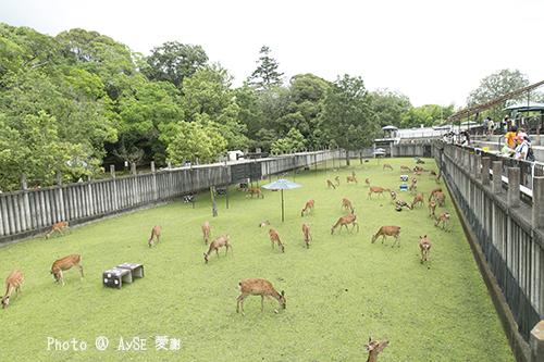 奈良 鹿苑 子鹿公開 赤ちゃん鹿