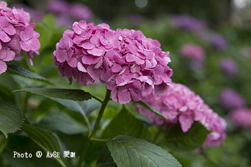 藤森神社 紫陽花花まつり