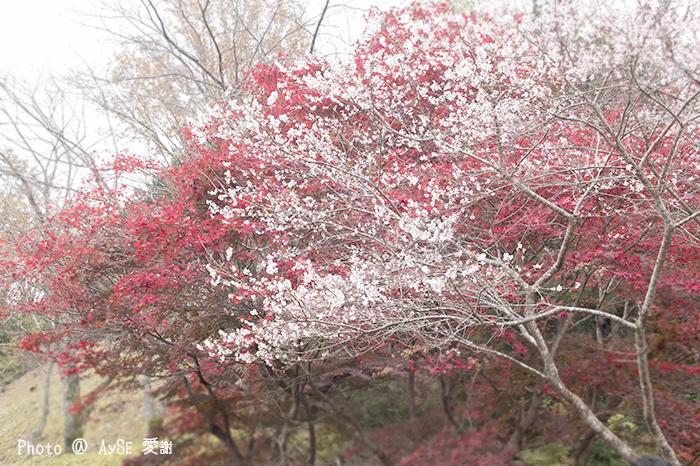 紅葉との共演!小原四季桜祭
