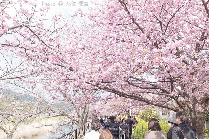 本州一早咲きの桜!河津桜
