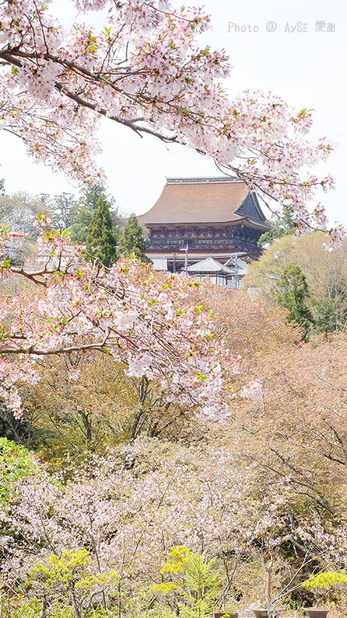 世界遺産 吉野山 千本桜